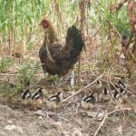 animaux de la ferme - poules