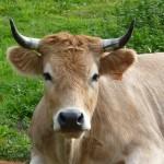 animaux de la ferme - vache