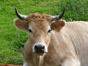 vache nantaise