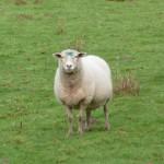animaux de la ferme - moutons
