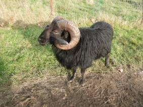 moutons à Nantes - Ouessant