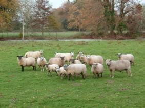 moutons à Nantes - Vendéens