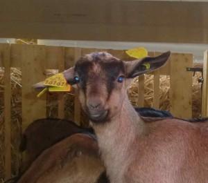 animaux de la ferme - chèvres