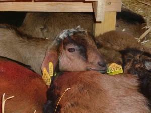 Arrivée des chevrettes - chevrettes sieste