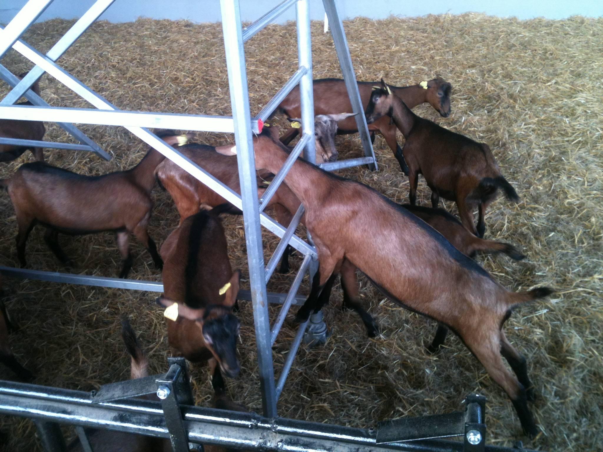 Séance d'escalade pour le troupeau
