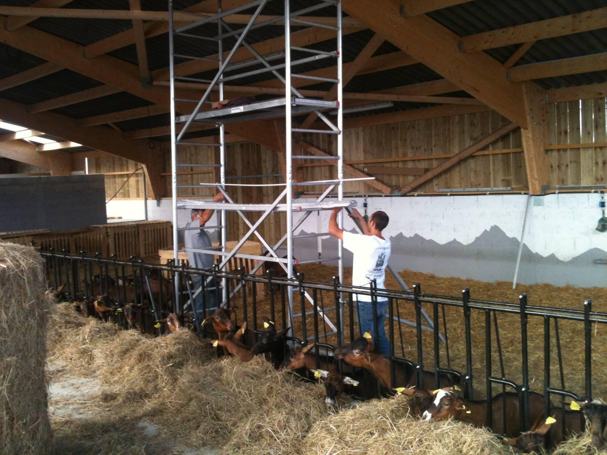 Montage de l'échafaudage au milieu des chèvres